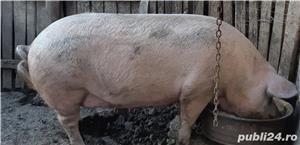 Vand porci - imagine 1