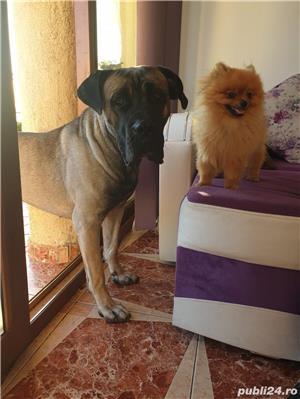 Caine Pomeranian Boo cu pedigree - imagine 1