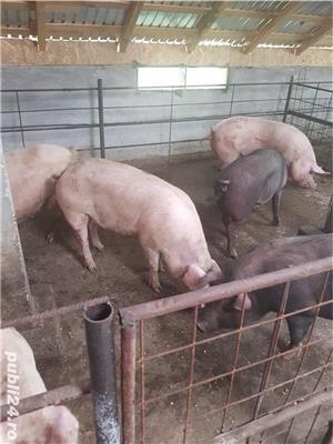 Vand porci! - imagine 4