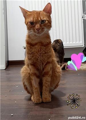 Roro motan roscat castrat - imagine 2