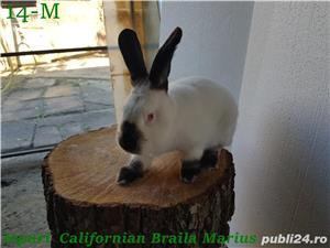 Tineret femele si masculi rasa californian / californieni - imagine 5