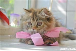 Pui pisica persana Doll Face ! - imagine 2