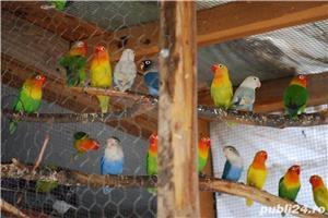 Agapornis/lovebirds fischer si personata - imagine 2
