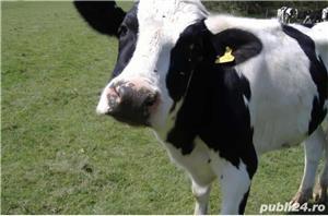 Vând vaci  - imagine 1