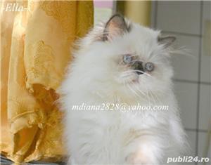 Pui persan Himalayan, Poze Reale !!! - imagine 5