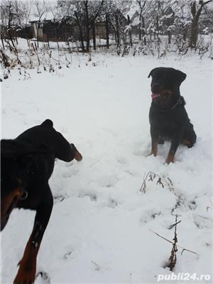 Rottweiler monta - imagine 4