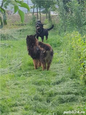Rottweiler monta - imagine 6
