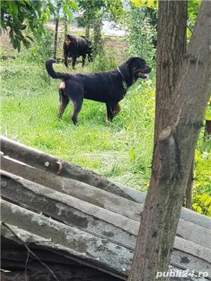 Rottweiler monta - imagine 3
