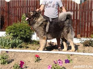 Ciobanesc caucazian cu pedigree - imagine 4