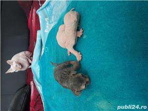 Pui pisica sphinx canadian - imagine 5