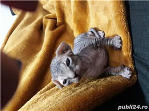 Pui pisica sphinx canadian - imagine 4