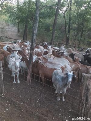 vand urgent 40 de capre si 3 tapi de rasa carpatina ( se vand toate impreuna) - imagine 1