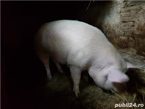 Vand porc mare  - imagine 2