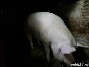 Vand porc mare  - imagine 1