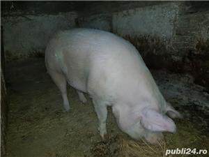 Vand porc mare  - imagine 5