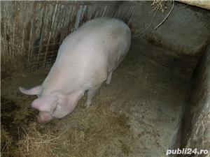 Vand porc mare  - imagine 4