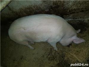Vand porc mare  - imagine 3