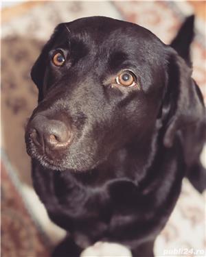 Labradori ciocolatii - imagine 3