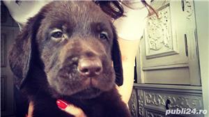 Labradori ciocolatii - imagine 2