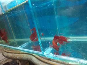 Vand pesti acvariu betta  - imagine 2