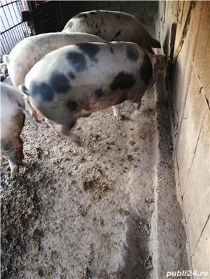 Porc pentru sacrificat  - imagine 4