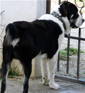 Ciobanesc de Asia Centrala pentru monta, cu pedigree tip A  - imagine 4