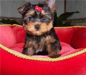 Frumosul Tiny Yorkshire terrier Păpuși disponibil - imagine 2