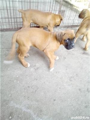Cățeluși boxer - imagine 5