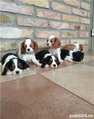 Vand pui de cavalier king charles spaniel!! - imagine 4