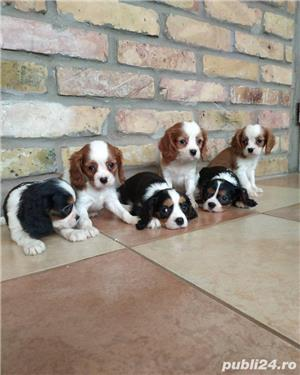 Vand pui de cavalier king charles spaniel!! - imagine 3