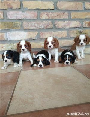Vand pui de cavalier king charles spaniel!! - imagine 1