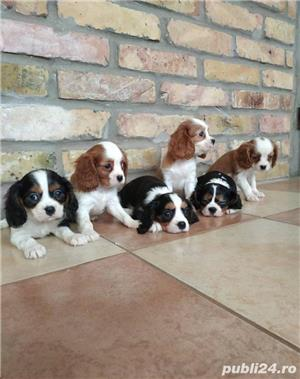 Vand pui de cavalier king charles spaniel!! - imagine 2