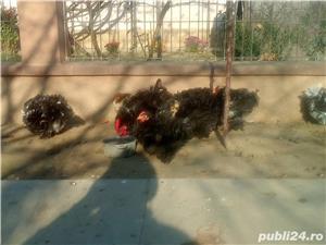 Vând Găini Frezate - imagine 5