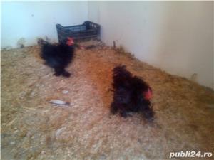 Vând Găini Frezate - imagine 4