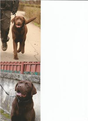 Ofer pentru monta mascul Labrador Retriever ciocolatiu, exemplar deosebit. - imagine 2