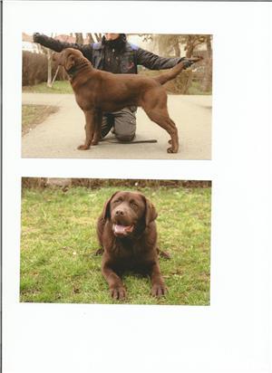 Ofer pentru monta mascul Labrador Retriever ciocolatiu, exemplar deosebit. - imagine 1