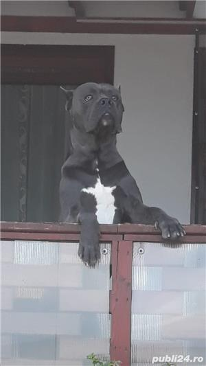 Monta cane corso blue - imagine 4