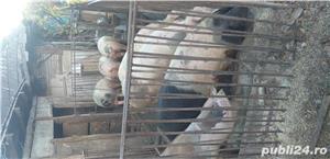 Vînd porci  - imagine 1