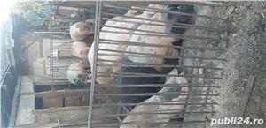Vînd porci  - imagine 3