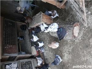 Porumbei kingi  - imagine 2