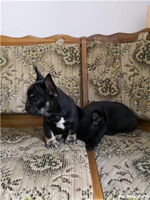 mini bulldog francez - imagine 2