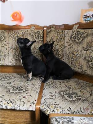 mini bulldog francez - imagine 3