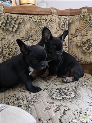 mini bulldog francez - imagine 4