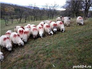 Vând 25 oi țurcane. - imagine 4