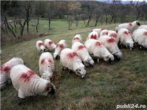 Vând 25 oi țurcane. - imagine 2