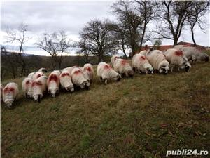 Vând 25 oi și 2 berbeci miori. - imagine 2