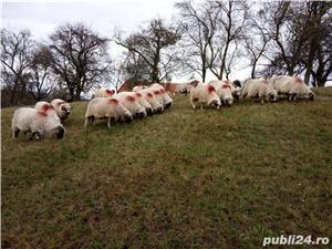 Vând 25 oi și 2 berbeci miori. - imagine 5