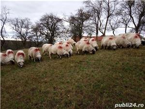 Vând 25 oi și 2 berbeci miori. - imagine 4