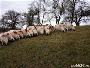 Vând 25 oi și 2 berbeci miori. - imagine 3