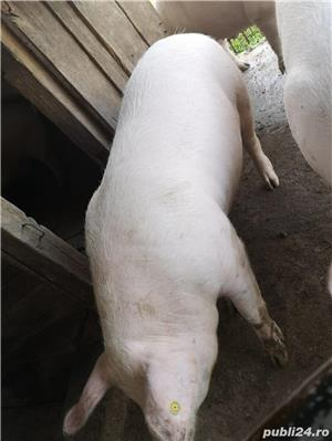 Porci de vânzare 12/kg negociabil  - imagine 3